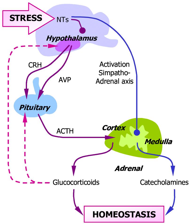هورمون ADH